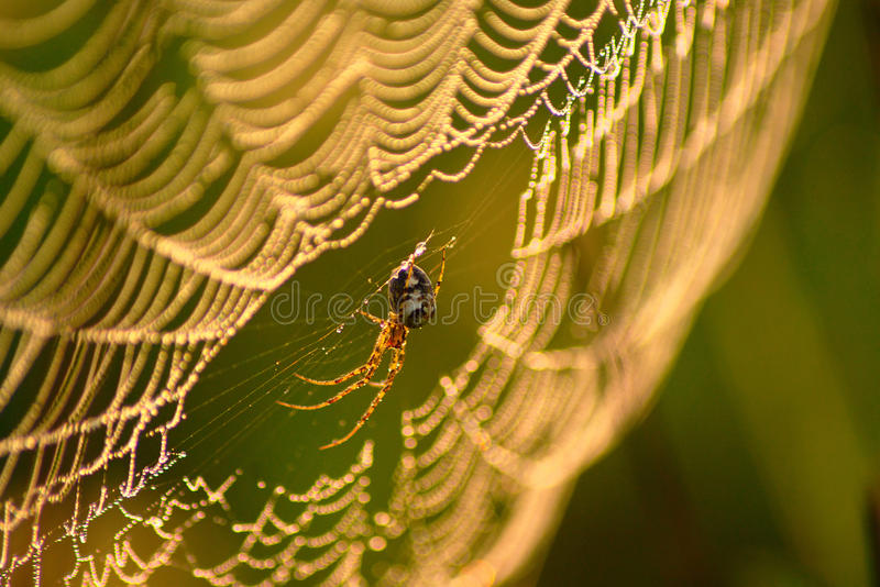 Spider Web In Autumn Morning. Spider in spiders web covered with dew drops on wet meadow in sunny autumn morning stock photo