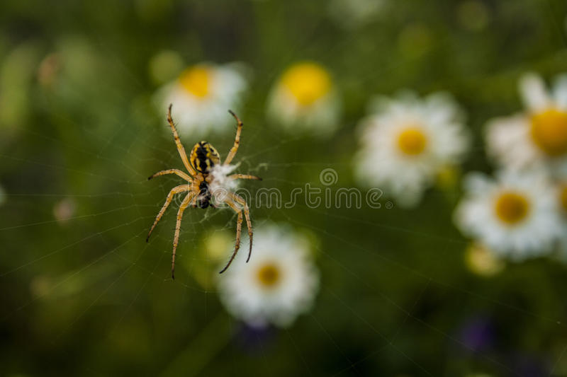 A small spider sits on a cobweb royalty free stock photo