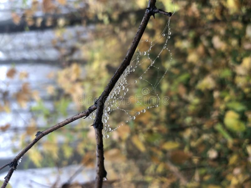 Spider web on a branch. Rain forest. Raindrops or dewdrops. photo closeup stock photography