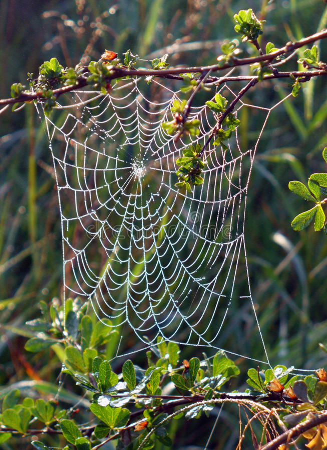 Download Spider Web On A Bush Stock Images - Image: 28091004