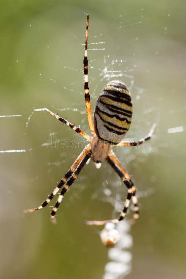 Spider on a web. stock photography