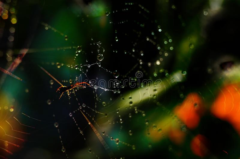Download Spider in a web with dew stock photo. Image of bright - 26420704