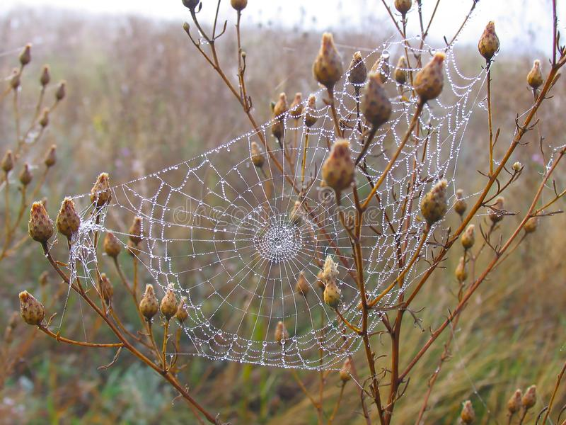 Spider web in dew royalty free stock image