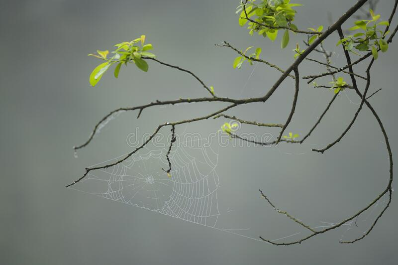 Spider web with droplets of water. Branches of a tree with green leaves. Smooth background royalty free stock photo