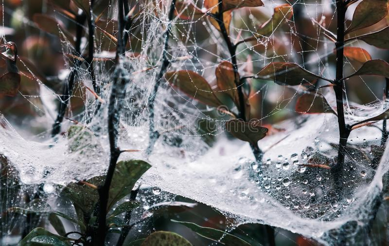 Spider Web With Drops Of Dew On Branches stock photo