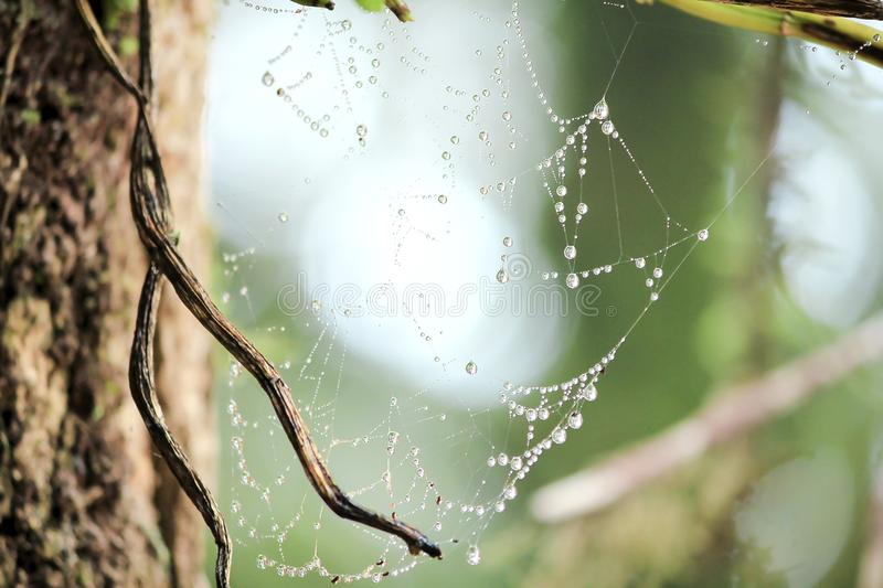Spider web with droplets after rain royalty free stock photography