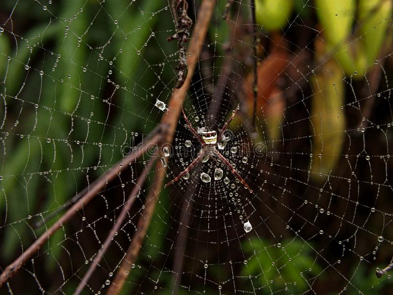 Spider on a web in Fraser Hill, Selangor, Malaysia royalty free stock image