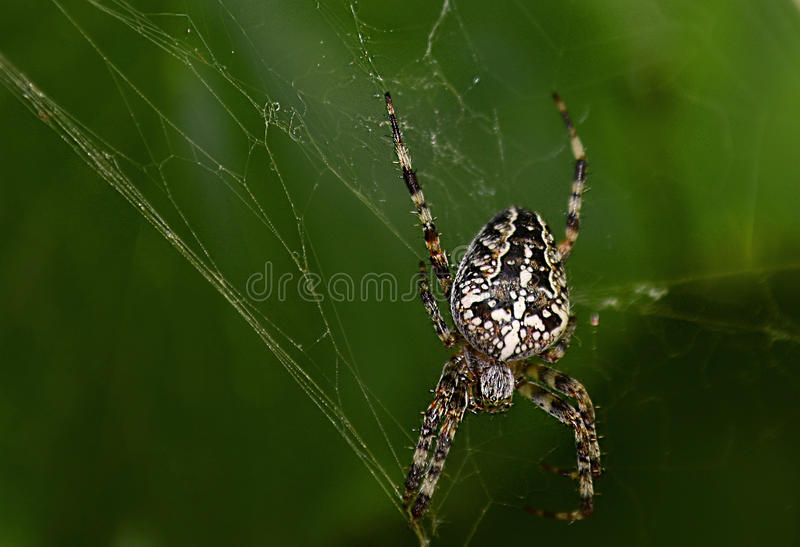 The spider. Spider on the Web on a green background royalty free stock images
