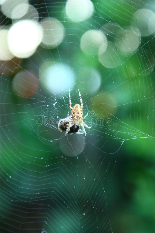 Spider Web, Green, Invertebrate, Spider royalty free stock photography