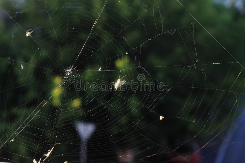 Spiderweb with insects in the rays of the setting sun on a green background stock photos