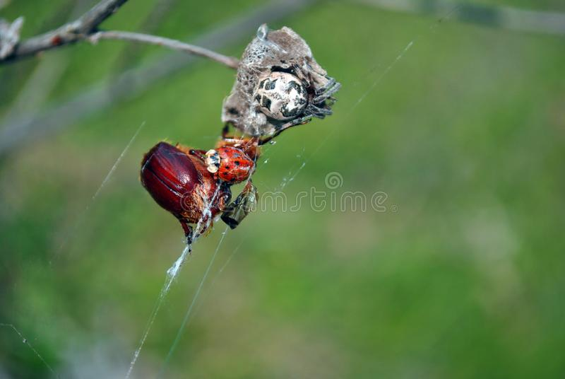 Spider in web with ladybug and cockchafer bug close up detail, soft blurry grass background stock photos