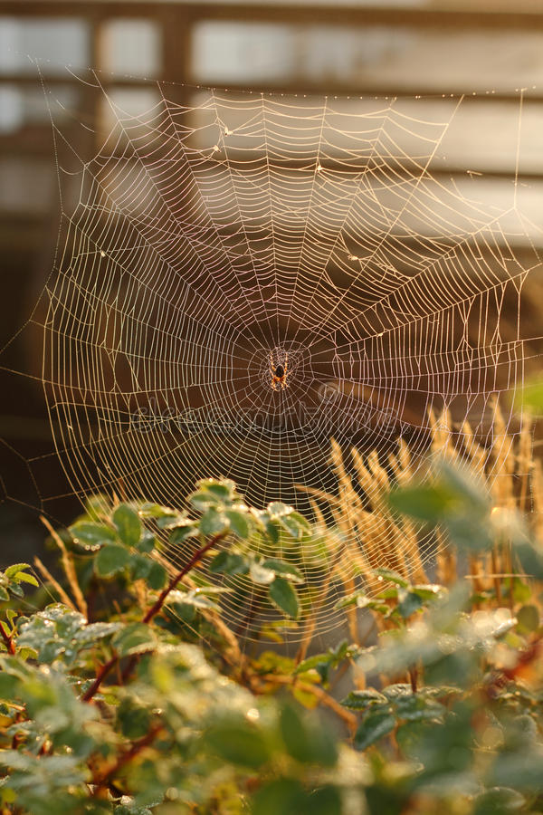 Download Spider Web, Morning Dew Stock Photo - Image: 21937840
