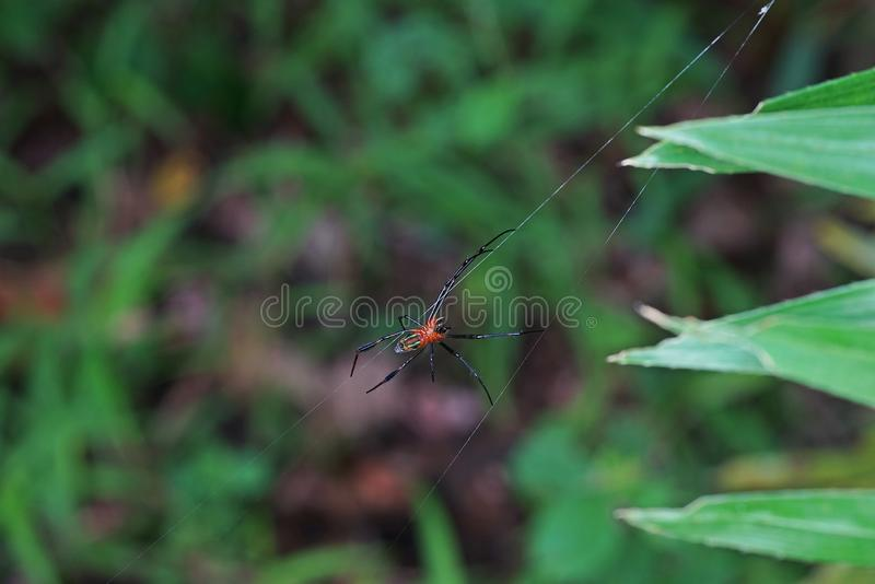 Spider and it web, natural trap. Tropical forest royalty free stock image