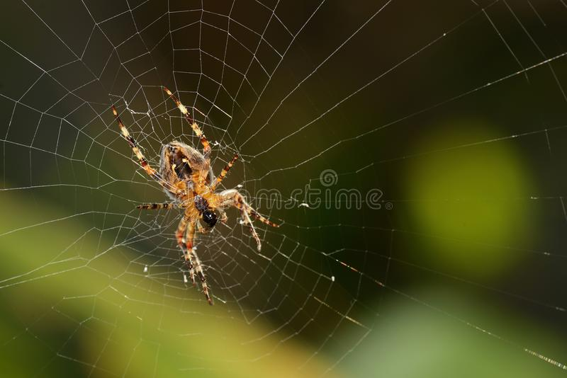 Spider on web. An orange and black colored spider on web stock photo