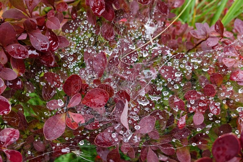 Spider web and raindrops on a garden plant with red leaves royalty free stock images