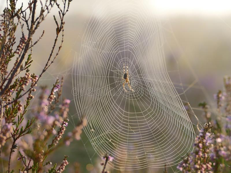 Spider web. A spider web in a field of heather royalty free stock photos