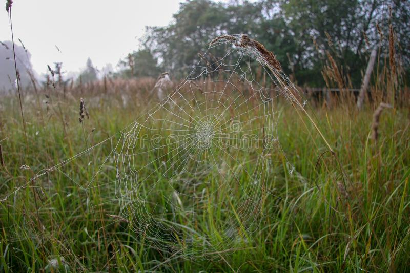 Spider web stretched on spikelets against a background of blurred grass and forest. royalty free stock image