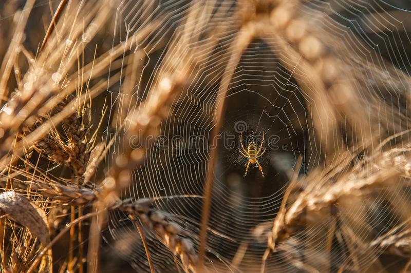 A spider in a web in a thicket of wheat. Wheat field on a Sunny day. Golden ears of wheat royalty free stock photo