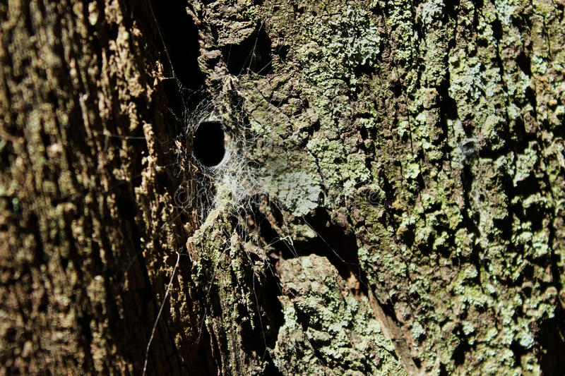 Spider web on a tree royalty free stock photo