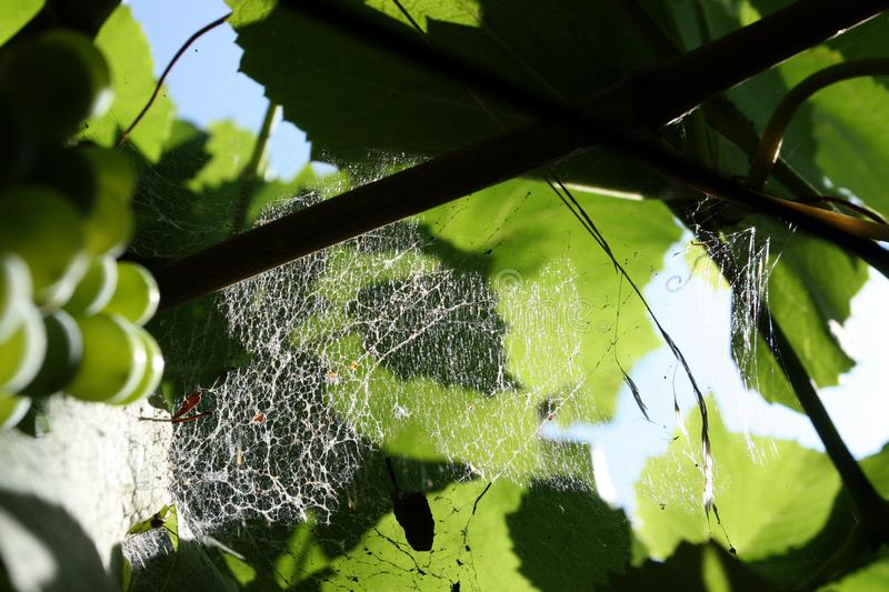 Spider web in the vineyard - detail royalty free stock photos