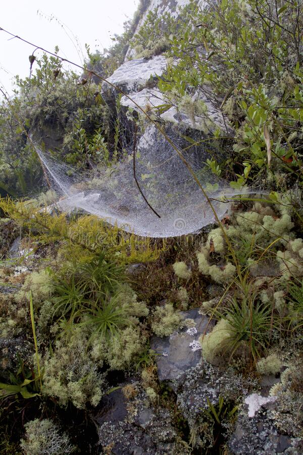 Spider Webs 827780. Spider webs over plants, lichens, mosses, rocks, vegetation in cloud forest along Sun Gate trail in Machu Picchu National Park Peru  827780 royalty free stock photos