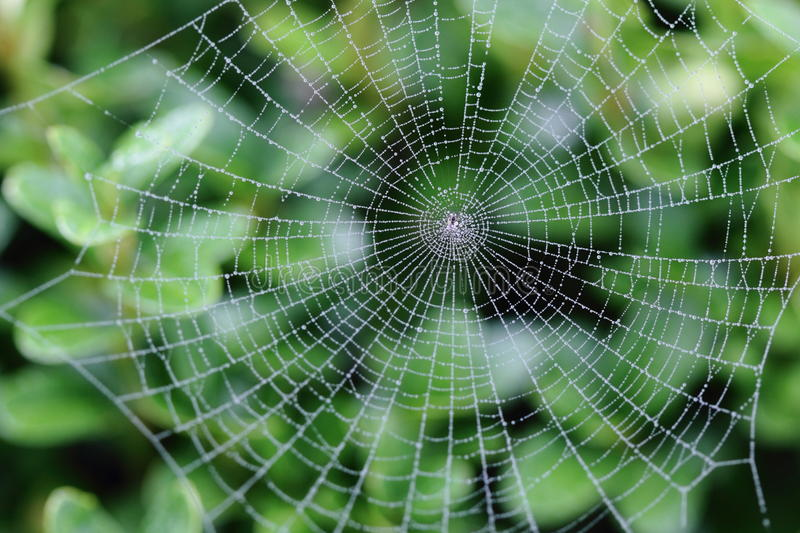 Spider on wet web stock photography