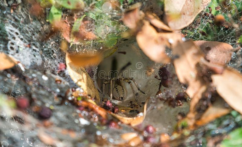 Spider entering web cave. Spider in the wild entering web cave stock photo