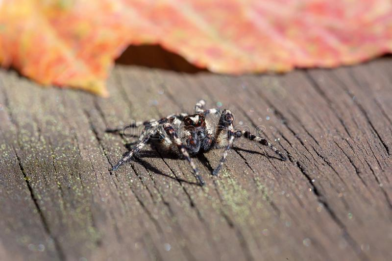 Spider on wooden surface in sunlight. Jumping spider on wooden plank. Spider on wooden surface in sunlight. Jumping spider on the wooden plank royalty free stock photography