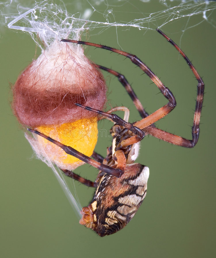 Spider wrapping an egg case stock images