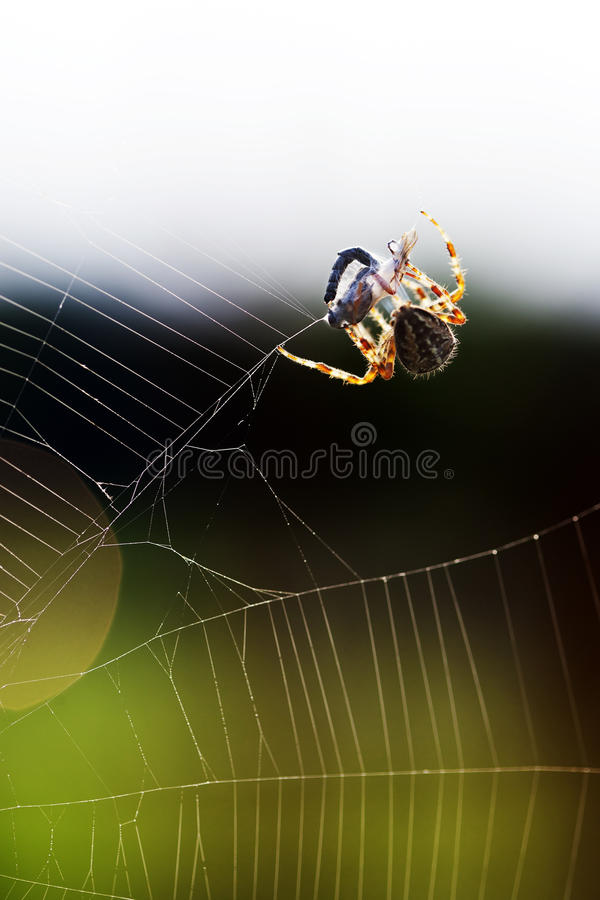 Download Spider wrapping its victim stock photo. Image of broken - 26527642