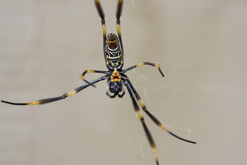 SpiderBelly royalty-vrije stock fotografie