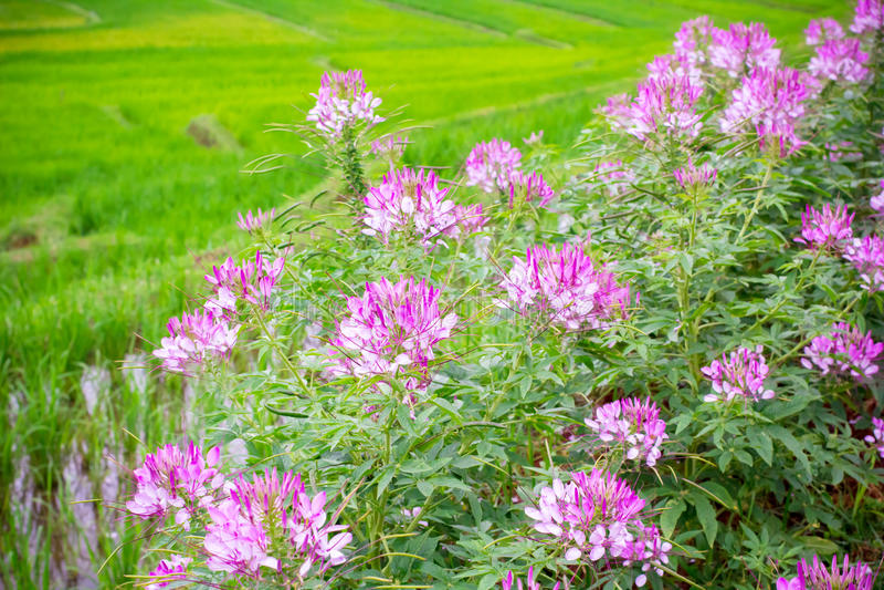 Spiderflower rose photo libre de droits