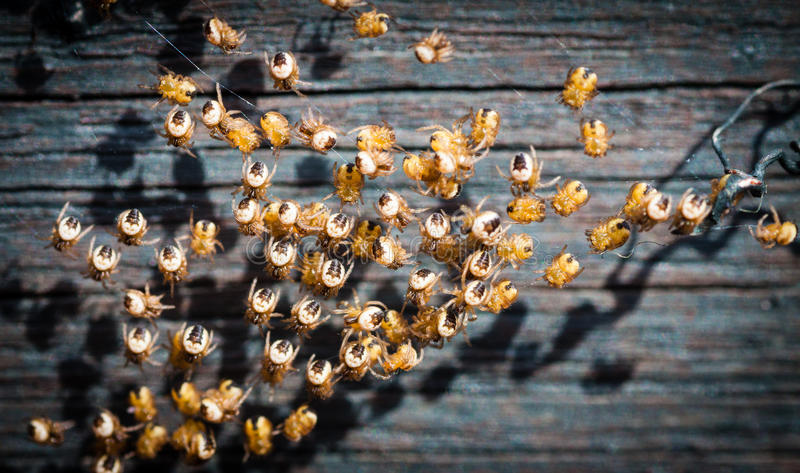Spiderlings just hatched on a web royalty free stock photo