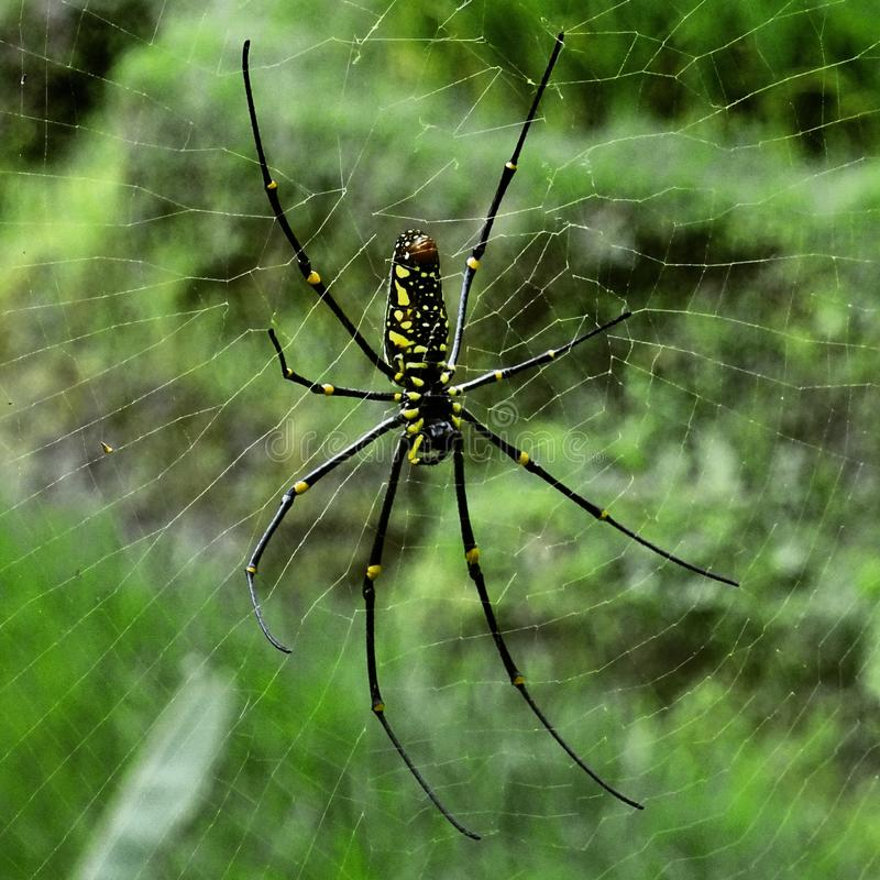 Spiders of Asia royalty free stock photography