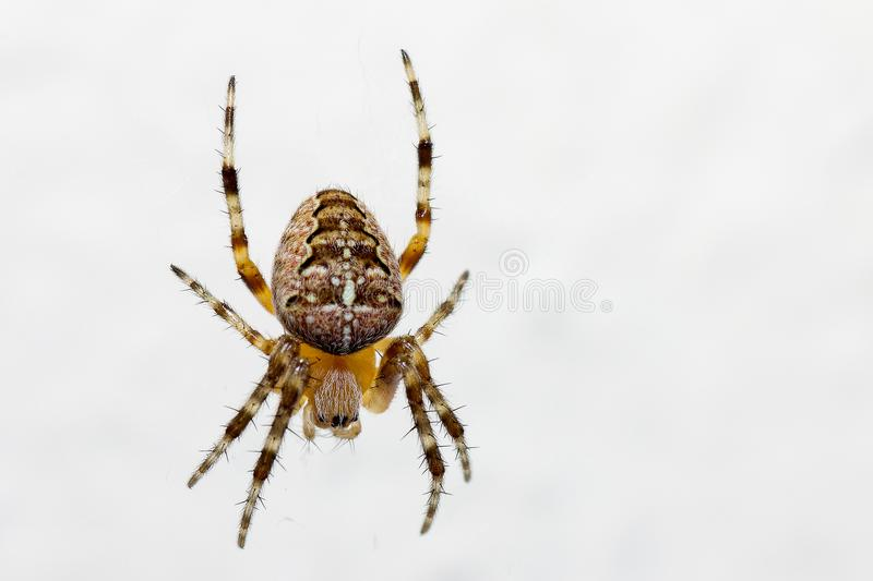 The spiders are a class of arthropods. There are more than a hundred thousand known species stock photos