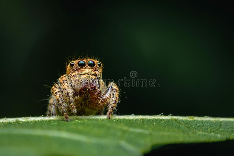 Spiders with multiple eyes dodge randomly camouflaging the prey that looks interesting as a macro image.  royalty free stock photo