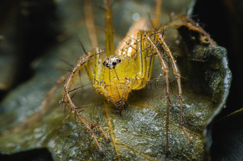 Spiders with multiple eyes dodge randomly camouflaging the prey that looks interesting as a macro image.  stock photo