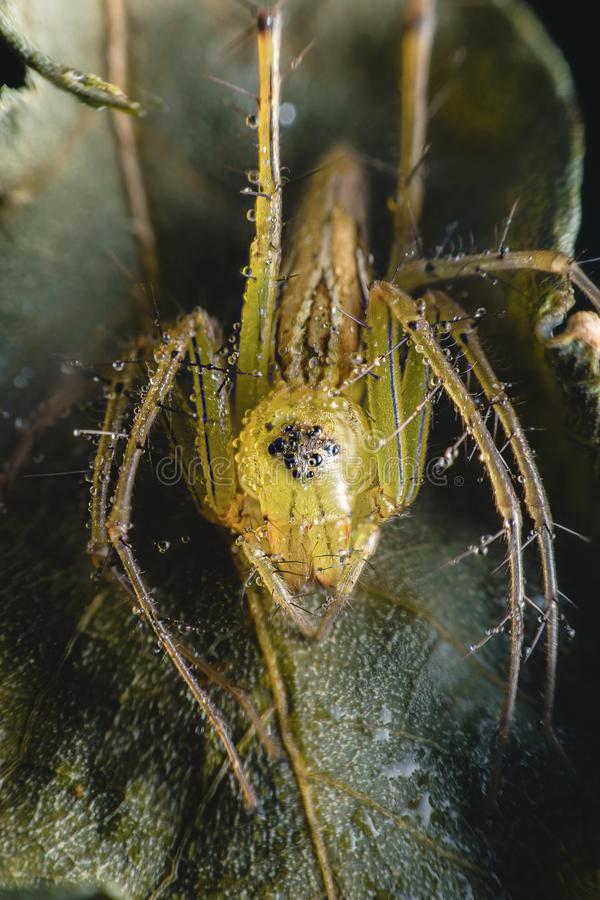 Spiders with multiple eyes dodge randomly camouflaging the prey that looks interesting as a macro image.  stock photography