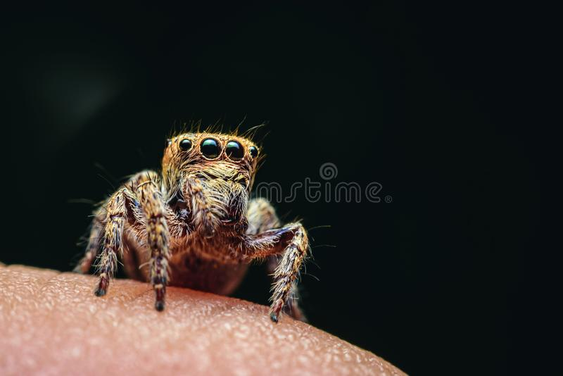 Spiders with multiple eyes dodge randomly camouflaging the prey that looks interesting as a macro image.  stock photos