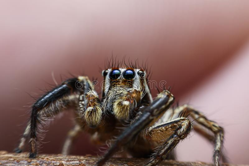 Spiders with multiple eyes dodge randomly camouflaging the prey that looks interesting as a macro image.  royalty free stock photos