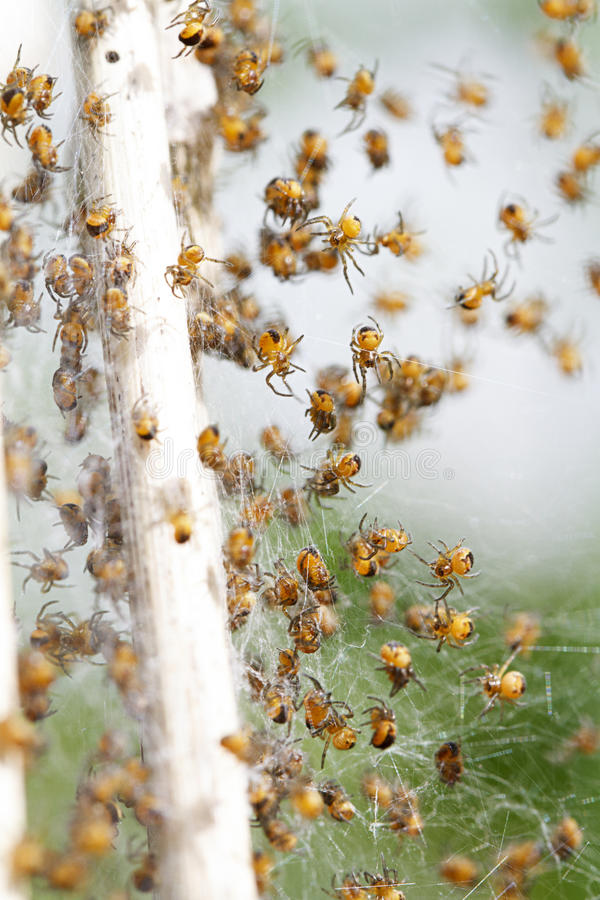 Spiders. A swarm of small orange spiders in the countryside stock photo