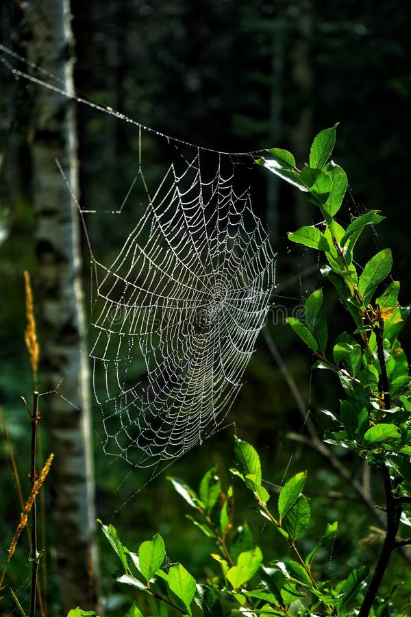 Spiders web in forest royalty free stock photos