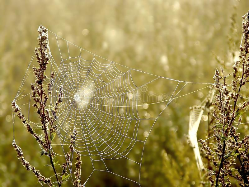 Download Spiders Web On A Meadow At Sunrise Stock Photo - Image: 9637742