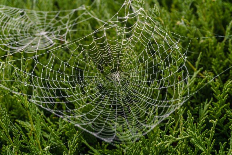 Spiderweb bonito coberto em gotas cintilando do orvalho na árvore verde no fundo imagem de stock