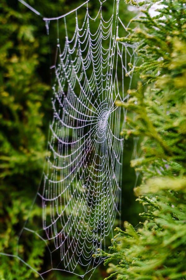 Spiderweb bonito coberto em gotas cintilando do orvalho na árvore verde no fundo fotos de stock royalty free