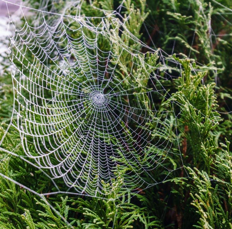 Spiderweb bonito coberto em gotas cintilando do orvalho na árvore verde no fundo fotografia de stock