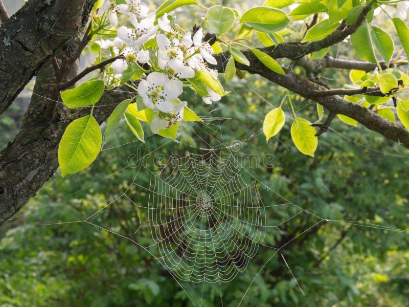 Spiderweb con descensos de rocío y flores blancas de la pera en un fondo de los verdes del joung Floraci?n de la primavera fotos de archivo