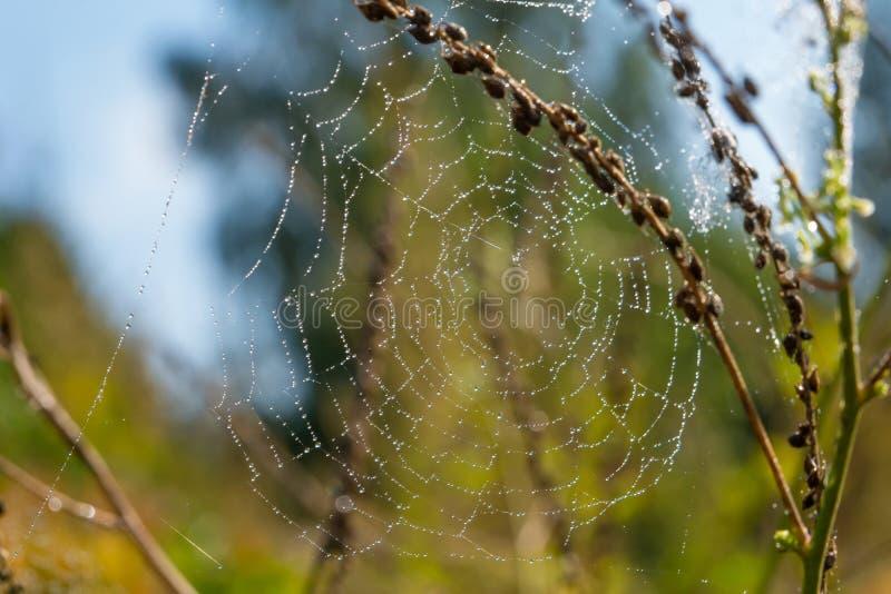 Spiderweb en una rama de una planta en los descensos del rocío fotos de archivo