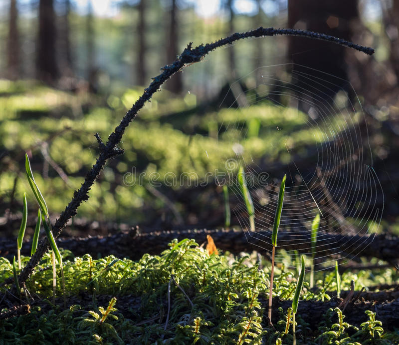 Download Spiderweb stock photo. Image of twig, woods, outdoor - 31195772