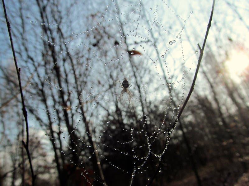 Spiderweb met dauw wordt behandeld die stock afbeeldingen
